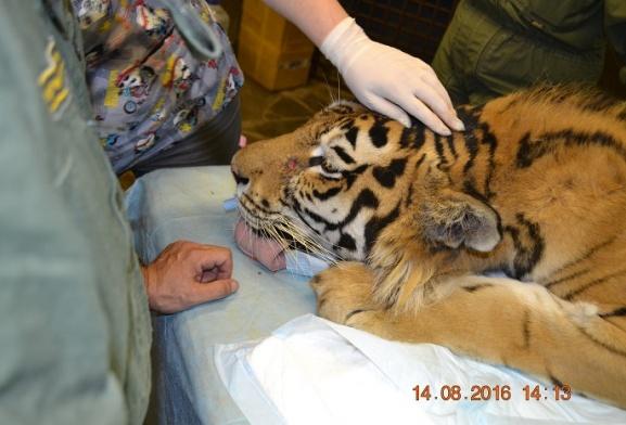 Врачи клиники «Чеширский кот» начали лечение молодого тигра